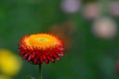 Flor da palha ou flor eterna ou de papel da margarida foto de stock