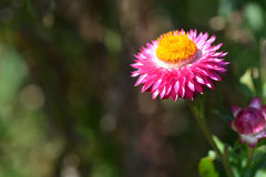 Flor da palha ou flor eterna ou de papel da margarida fotos de stock royalty free
