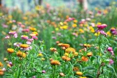 Flor da palha ou flor eterna ou de papel da margarida imagens de stock royalty free