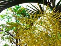 A flor da palmeira no jardim Fotos de Stock Royalty Free