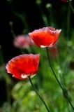 Flor da papoila Fotografia de Stock Royalty Free