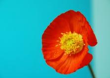Flor da papoila fotos de stock royalty free