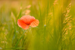 Flor da papoila Foto de Stock Royalty Free