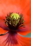 Flor da papoila Fotografia de Stock