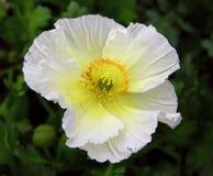 Flor da papoila Imagem de Stock