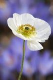 Flor da papoila branca após a chuva Foto de Stock Royalty Free
