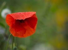 Flor da papoila coberta com alguns pingos de chuva Fotografia de Stock Royalty Free