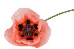 Flor da papoila cor-de-rosa, lat Papaver, isolado no fundo branco imagens de stock royalty free