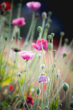 Flor da papoila de ópio no jardim na montanha Tailândia do angkhang Fotos de Stock Royalty Free