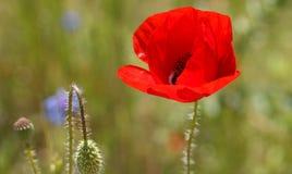 Flor da papoila durante o verão Fotos de Stock Royalty Free
