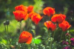 Flor da papoila na flor selvagem da papoila do prado Imagem de Stock