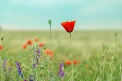 Flor da papoila no campo Imagens de Stock