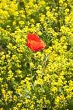 Flor da papoila no campo da violação Fotografia de Stock Royalty Free