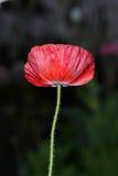 Flor da papoila no fundo verde Fotografia de Stock