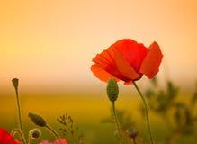 Flor da papoila no prado Imagens de Stock Royalty Free