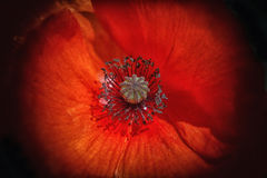 Flor da papoila no preto Imagens de Stock Royalty Free