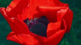 Flor da papoila vermelha em um campo das papoilas Flor da papoila vermelha no campo entre a grama Uma abelha que recolhe o pólen  video estoque
