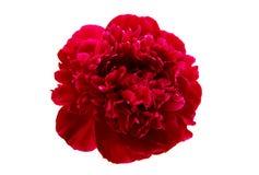 Flor da peônia isolada fotografia de stock royalty free