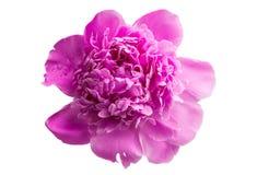 Flor da peônia isolada imagem de stock