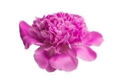 Flor da peônia isolada fotos de stock royalty free