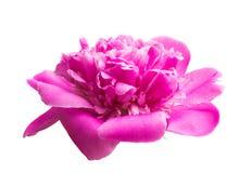 Flor da peônia isolada imagens de stock royalty free