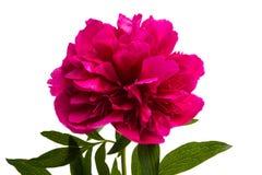 Flor da peônia isolada imagens de stock