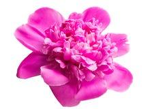 Flor da peônia isolada foto de stock royalty free