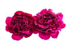 Flor da peônia isolada foto de stock