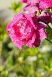 Flor da peônia com orvalho da manhã imagem de stock