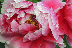 Flor da peônia da árvore Imagens de Stock Royalty Free