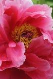 Flor da peônia da árvore Fotografia de Stock Royalty Free