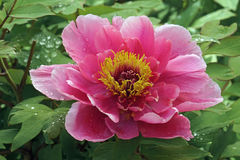 Flor da peônia da árvore Foto de Stock Royalty Free
