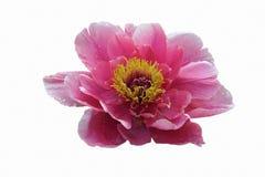 Flor da peônia da árvore Fotos de Stock Royalty Free
