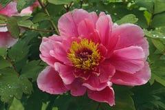 Flor da peônia da árvore Fotos de Stock