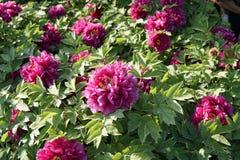 Flor da pe?nia no parque do pa?s de Nanhaizi imagem de stock