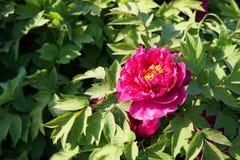 Flor da pe?nia no parque do pa?s de Nanhaizi fotos de stock