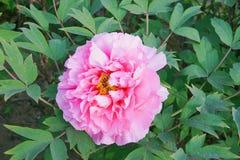 Flor da pe?nia no parque do pa?s de Nanhaizi fotografia de stock royalty free