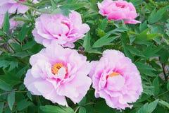 Flor da pe?nia no parque do pa?s de Nanhaizi fotos de stock royalty free