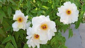 Flor da pe?nia no parque do pa?s de Nanhaizi fotografia de stock
