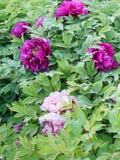 Flor da pe?nia no parque do pa?s de Nanhaizi imagens de stock