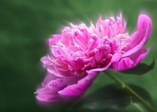 Flor da peônia sobre fundos verdes abstratos Fotografia de Stock Royalty Free
