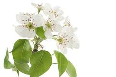 Flor da pera Imagem de Stock