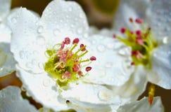 Flor da pera Foto de Stock