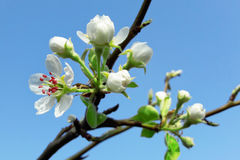 Flor da pera Fotos de Stock Royalty Free
