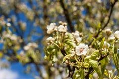 Flor da pera Fruto na primavera Crescimento e venda das peras Imagem de Stock Royalty Free