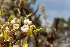 Flor da pera Fruto na primavera Crescimento e venda das peras Fotos de Stock