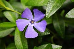 Flor da pervinca Imagens de Stock