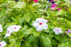 Flor da pervinca de Rosa Imagem de Stock Royalty Free