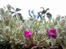 Flor da planta da cinza do arbusto do barômetro fotografia de stock royalty free