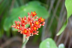 Flor da planta da gota, flor do ruibarbo da Guatemala Foto de Stock Royalty Free